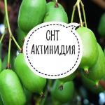 СНТ «Актинидия»