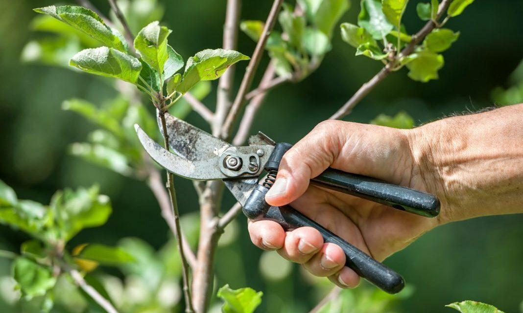 Весенняя обрезка в саду. (Регина Викторовна Ким)